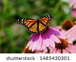 Monarch Butterfly Pollinating ...