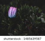 Purple African Daisy Flower...
