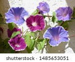 Small photo of Morning Glory, Three-color Morning Glory, Ipomoea purpurea, is a beautiful climbing plant with various colored, funnel-shaped flowers.