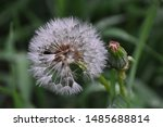 Close Up View Of A Dandelion...