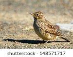 thick billed lark portrait | Shutterstock . vector #148571717