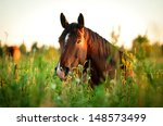 Bay Horse Lying On The Grass I...