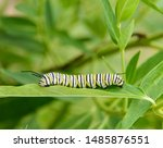 A caterpillar of the Monarch butterfly (Danaus plexippus), shown on a leaf of the milkweed plant, the food it eats, against a green background of other leaves, in Taneytown, Carroll County, Maryland.