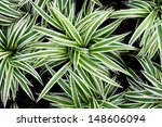 chlorophytum bichetii | Shutterstock . vector #148606094