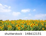 Sun Flowers Field In Thailand....