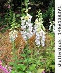 Small photo of White fox glove plant in the garden.