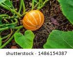 Big Orange Pumpkin Growing On...