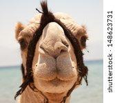 Muzzle Camel Close Up. Animal...