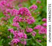 Small photo of Purpure flowers of centranthus ruber. Centranthus ruber, also called red valerian, spur valerian, kiss-me-quick, fox's brush, devil's beard and Jupiter's beard, is a popular garden plant.