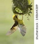 A Male Southern Masked Weaver...