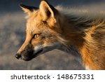 red fox   vulpes vulpes | Shutterstock . vector #148675331