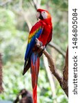 The Red Macaw Or Macaw Aliverde ...