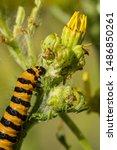Cinnabar moth (Tyria jacobaeae) catepillar feeding on Tansy Ragwort (Jacobaea vulgaris).