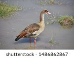 Egyptian Goose In Profile ...