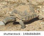 Stock photo desert tortoise mojave desert california where s the snacks once she emerged from her burrow 1486868684
