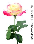 two tones tea rose isolate on... | Shutterstock . vector #148703141