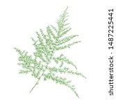 isolated green asparagus fern... | Shutterstock .eps vector #1487225441