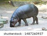 A Pygmy Hippopotamus Looks For...