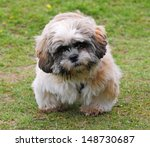 Cute Shih Tzu Puppy Dog