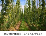 Small photo of Hops field. Fully grown hop bines. Hops field in Czech Republic. Hops are main ingredients in Beer production.