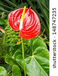 Close Up Of Red Anthurium...