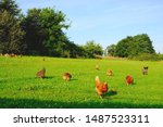 Chickens Poultry Animal Happy...