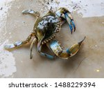 Maryland Blue Crabs   Steamed...