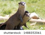 Pair of river otters with the...