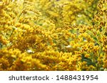 Small photo of Canada goldenrod or Canadian goldenrod (Solidago canadensis) small bright yellow flowers close up