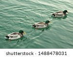 3 Ducks Swimming Together In...