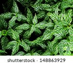 lush green leafy fern plants... | Shutterstock . vector #148863929