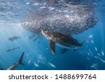 Shark hunting small baitfish, Ningaloo reef, Western Australia  - stock photo