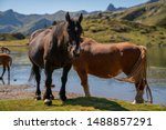 Horses drinking water in a lake in the mountains in french Pirynees.