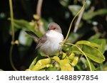 Superb Fairywren (Malurus cyaneus)  Queensland Australia