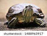 Stock photo pet tortoise staring and looking seriously at something interesting 1488963917