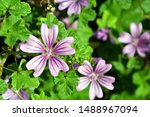 Small photo of Top view of Malva sylvestris flower (known as common mallow, cheeses, high mallow and tall mallow). Closeup of showy bright mauve-purple flowers of Malva sylvestris