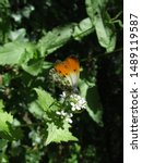 Orange Tip Butterfly On A...