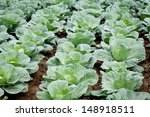 Green Cabbage Plant Field...