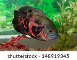 Oscar Fish In Aquarium ...