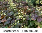 Small photo of Small flowers of epimedium sagittatum, barrenwort, bishop's hat, fairy wings or horny goat weed close up. Traditional chinese herb epimedium with yellow and white flowers