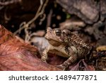 Eastern American Toad low perspective front left portrait sitting on dry leaves and twigs with wood pile in background horizontal photo macro close-up detail, Bufo or anaxyrus americanus copy space