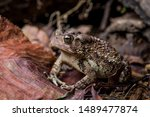 Wart covered Eastern American Toad low perspective left side portrait sitting on dry leaves and twigs near wood pile horizontal photo macro close-up detail, Bufo or anaxyrus americanus