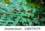 the kentucky coffee tree is a... | Shutterstock . vector #148979279