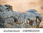 Close Up Portrait Of Crocodile...