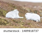 Stock photo white mountain hare lepus timidus in scottish highland these hare change their fur colour white 1489818737