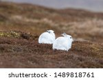 Stock photo white mountain hare lepus timidus in scottish highland these hare change their fur colour white 1489818761