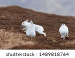 Stock photo white mountain hare lepus timidus in scottish highland these hare change their fur colour white 1489818764