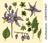 Purple Deadly Nightshade...