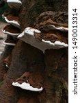 Large White Fungus  Growing On...