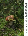 Boletus Mushroom In The Wild....